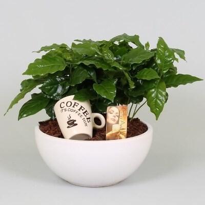 Цветок в горшке кофе арабика