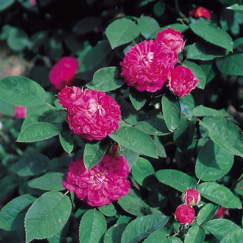 роза жуа де вивр фото теплое