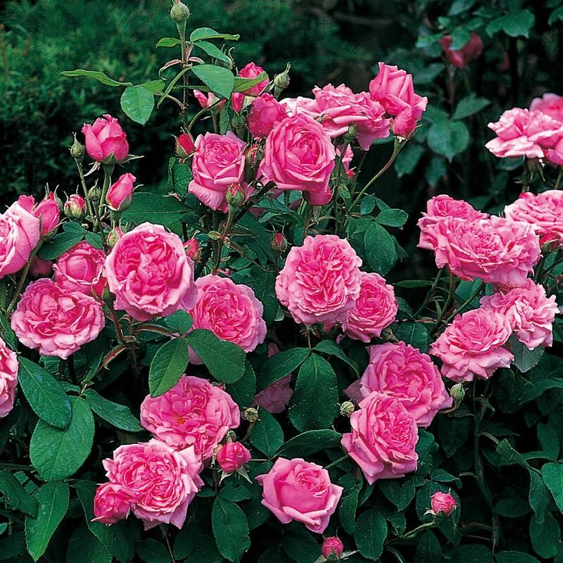 отмазка, что кусты роз названия и фото этого дождевика